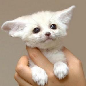 Fox with big ears